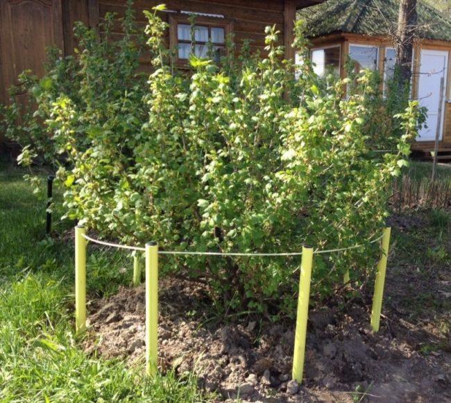 Ограждение по периметру куста крыжовника для поддержки веток в период плодоношения