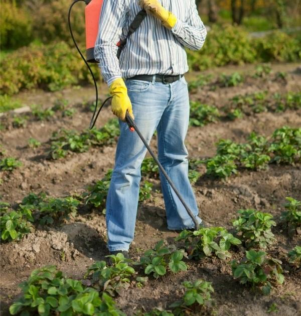 Садовод с распылителем на плантации клубники