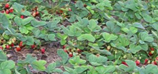 Кусты клубники посаженные по технологии открытого грунта