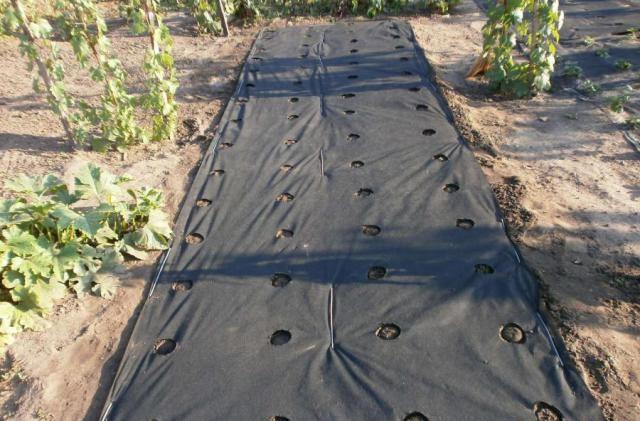 Агроволокно на грядке с разметкой под кусты клубники