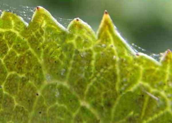 Паутинный клещ опутал своей паутинкой листок крыжовника сорта Грушенька