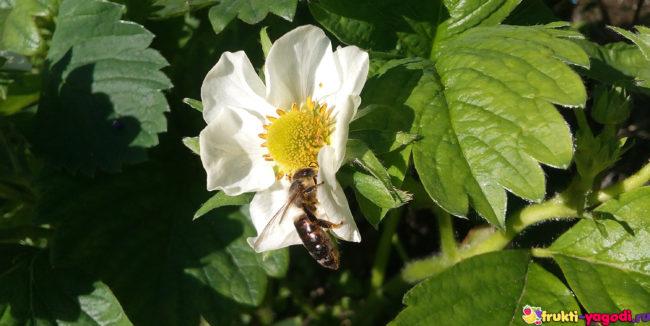 Пчела на цветке клубники вблизи
