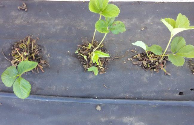 Кустики клубники на спанбонде после санитарной обрезки листьев