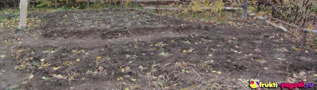 Пересаженная клубника осенью на садовом участке октябрь месяц