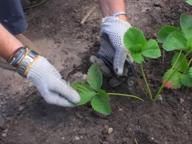 Обрезка секатором больного листа садовой клубники с признаками бурой пятнистости