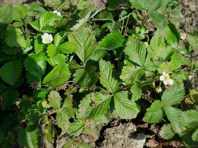 Листья садовой клубники с признаками поражения бурой пятнистостью