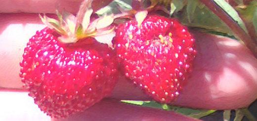 Плоды безусовой ремонтантной клубники вблизи