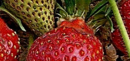 Плоды клубники Царица вблизи спелые и зелёные