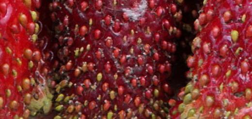Плоды клубники Купчиха вблизи