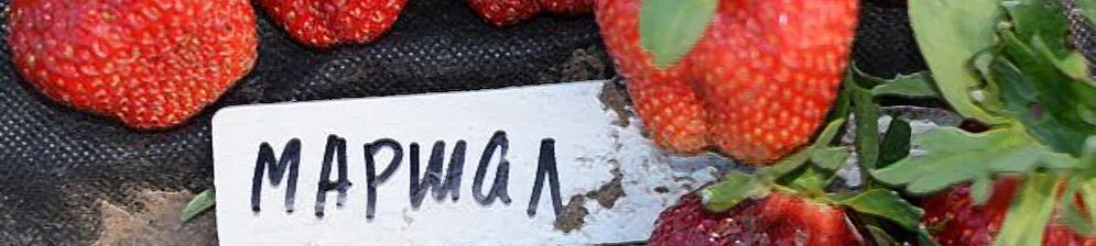 Плоды клубники Маршал вблизи