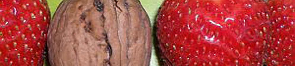 Сравнение плодов клубники Соловушки и грецкого ореха