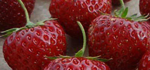Плоды клубники Зенга Зенгана вблизи