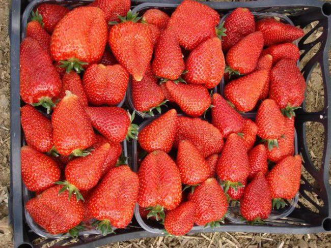 Палетки с ягодами клубники сорта Сирия, подготовка урожая для транспортировки