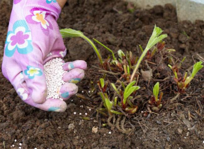 Внесение гранулированного удобрения под клубнику