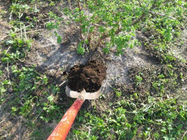 Внесение перепревшего компоста на приствольный круг молодого крыжовника ранней весной