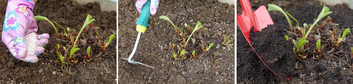 Внесение удобрений и рыхление клубники