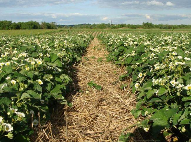 Цветущие кусты клубники на фермерской плантации