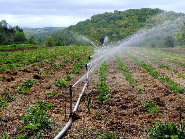 Разбрызгиватели с водой на поле с клубникой