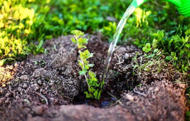 Полив черенка крыжовника, растущего в земле