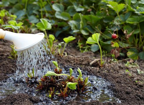 Полив клубники из садовой лейки