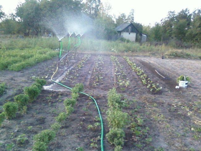 Грядки с клубникой поливаются из распылителя