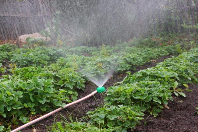 Орошение клубники из дождевателя