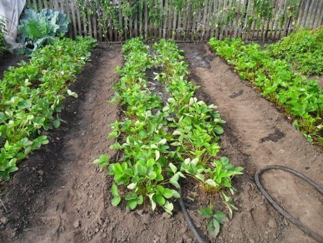 Грядка с клубникой весной, полив кустов из шланга