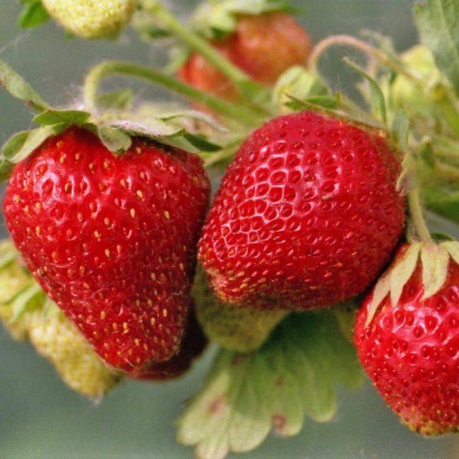 Крупные ягоды клубники на кусте