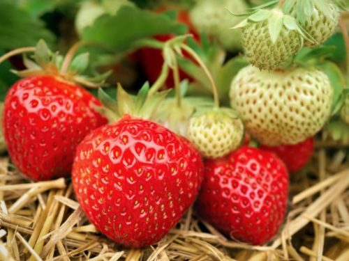 Крупные ягоды клубники Полька на кусте