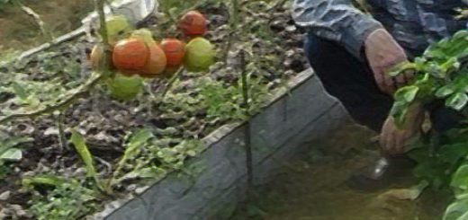 Кусты помидор на садовом участке