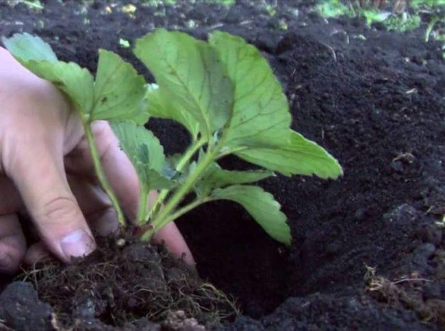 Посадка клубники в почву