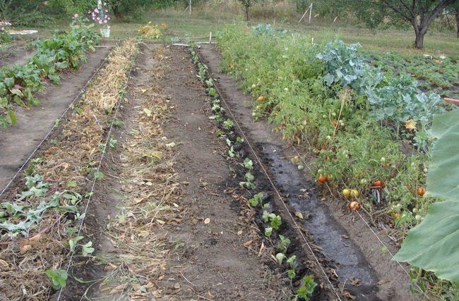 Высадка молодых сеянцев клубники в своем саду