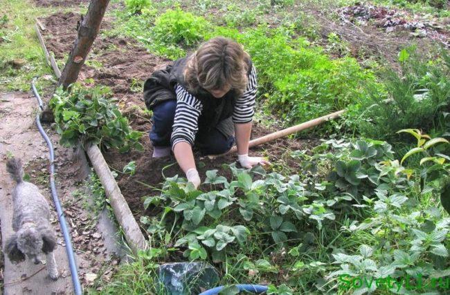 Женщина садовод занимается посадкой садовой клубники на своем участке