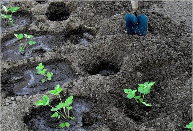 Лунки для клубники в рыхлой земле