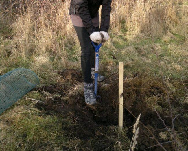 Подготовка посадочной ямы для высадки крыжовника весной