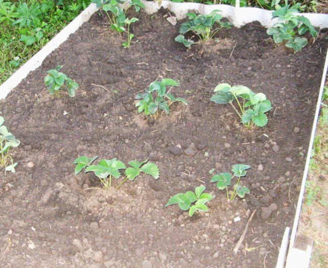 Клубника посаженная в почву
