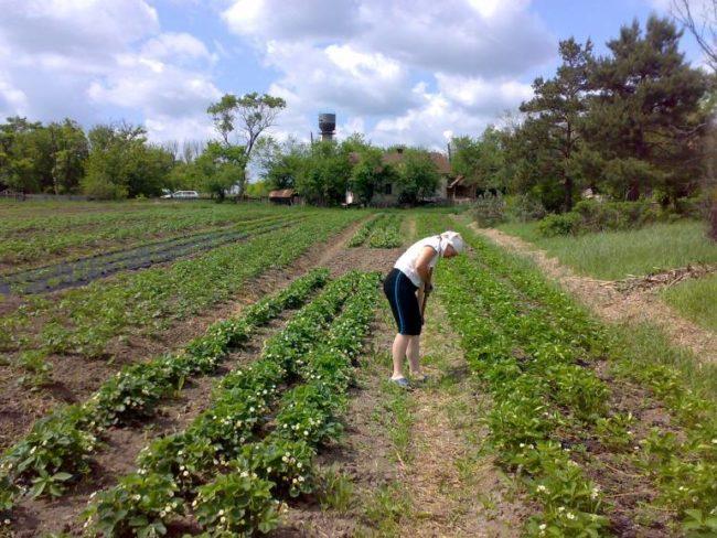 Посадки клубники Вима Занта в поле