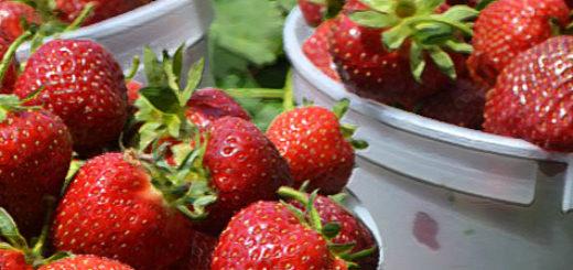 Плоды ранней клубники в пластиковой ёмкости