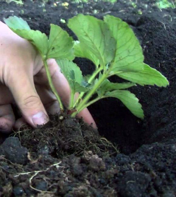 Зеленый сеянец клубники перед посадкой в лунку
