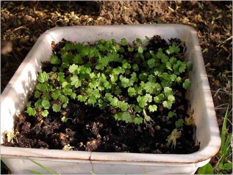 Земляника ремонтантная из семян выращивание рассады 31
