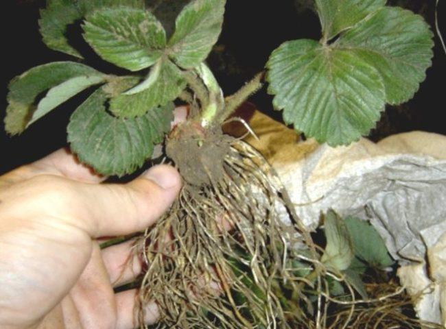 Здоровый саженец клубники с мощной корневой системой
