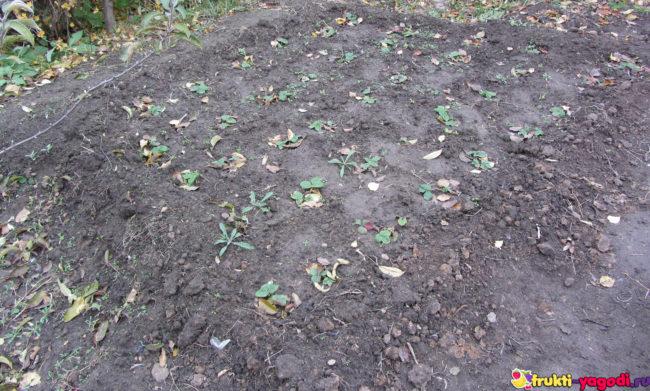 Клубника рассажена с расстоянием между кустами 40 см