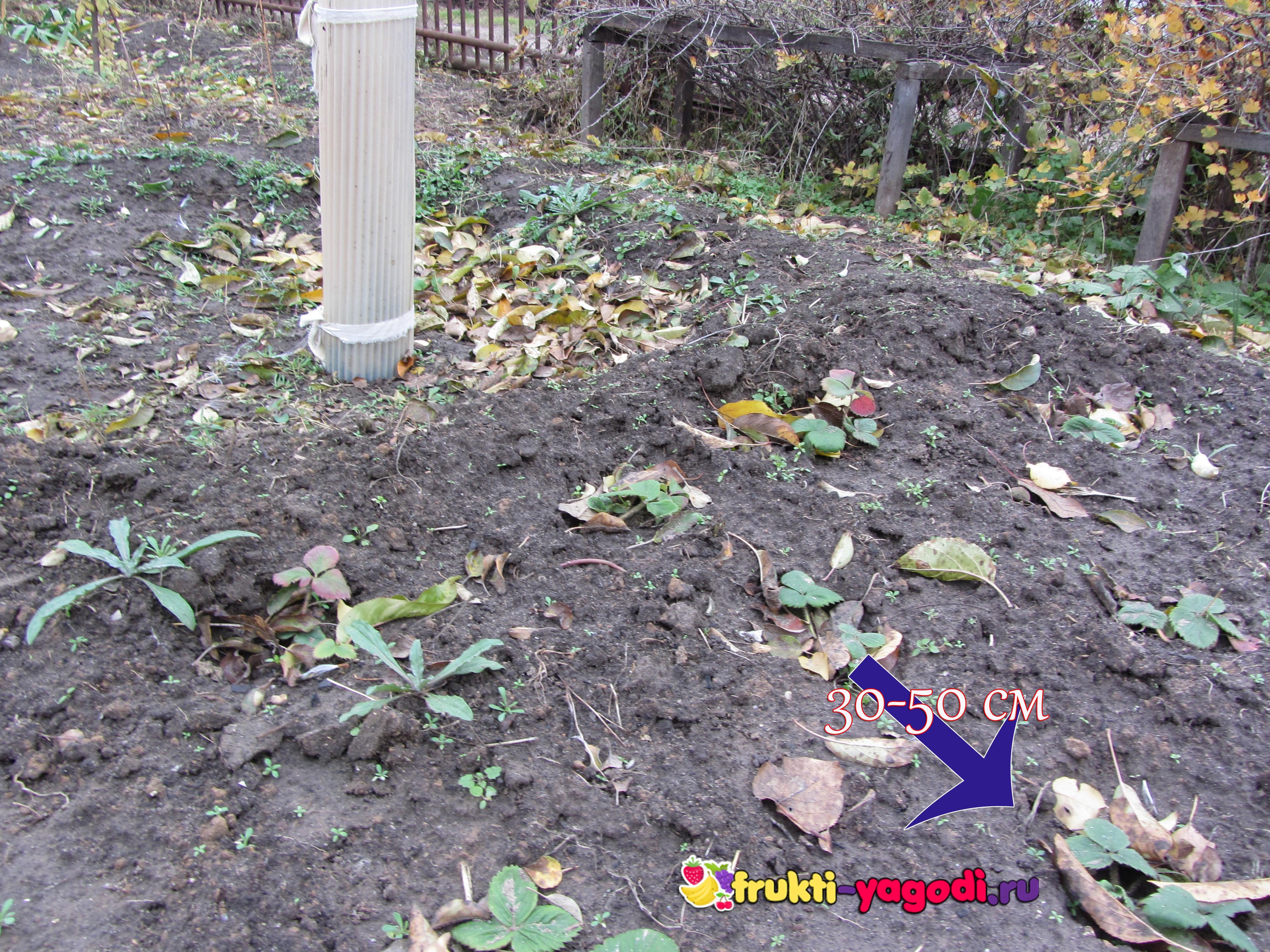 На каком расстоянии сажать клубнику осенью 386