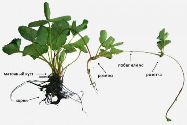 Схема размножения садовой клубники путем укоренения усов