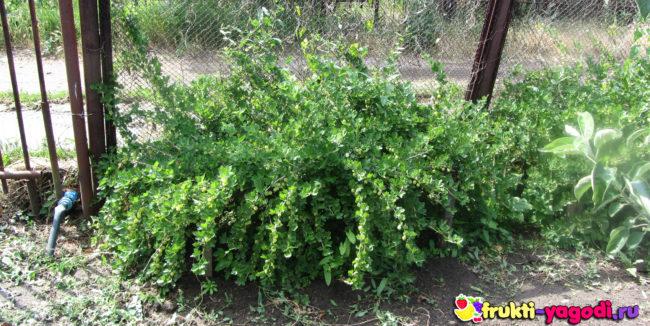 Разросшийся куст крыжовника на садовом участке