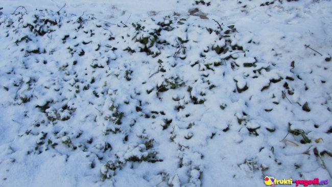 Ремонтантная клубника зимой под снегом без укрытия