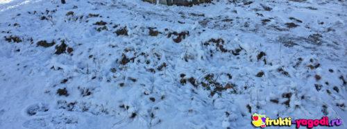 Ремонтантная клубника зимой под слоем снега