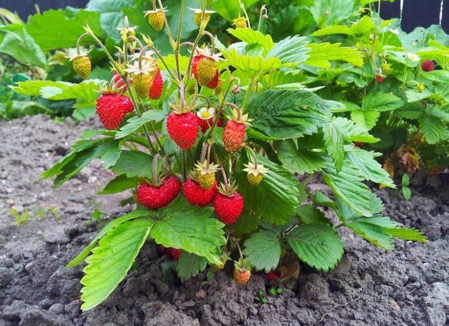 Куст клубники ремонтантной со спелыми ягодами малинового окраса