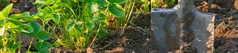 Рыхление кустов клубники весной лопатой