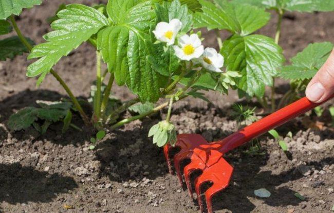 Рыхление кустов клубники во время цветения